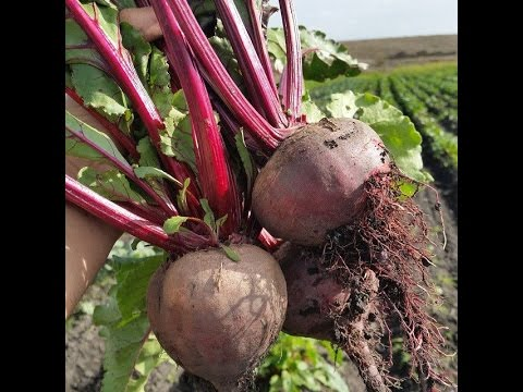 First Generation Farmers How To Harvest Beets