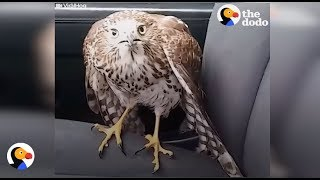 Harvey the Hurricane Hawk: Scared Hawk in Taxi Finds Man Who Will Help | The Dodo