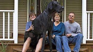 Самая большая собака в мире. Датский дог / Этого пса занесли в Книгу рекордов