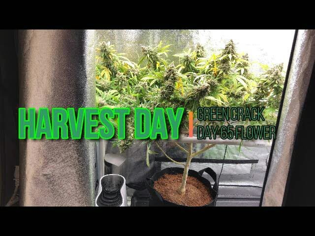 Green Crack Medical Cannabis Harvest. Massive Super Frosty LED Grown Buds