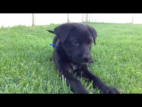 Playing in the backyard - Nox (Australian Kelpie)