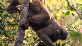 Quatre singes dans un petit royaume - Les muriquis au Brésil