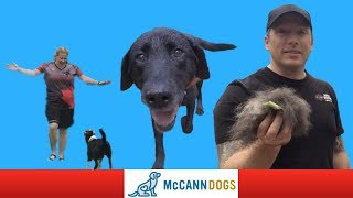 Puppy Training, A Labrador Retriever And Some German Turns McCann Dogs Vlogs