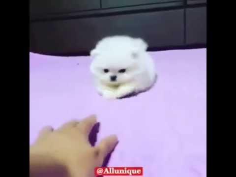 Cute dog - little white furball