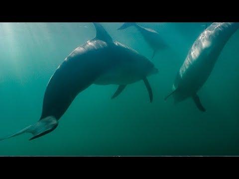 Shark Attacks Dolphins! | BBC Earth