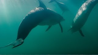 Shark Attacks Dolphins! | BBC Earth YouTube Videos