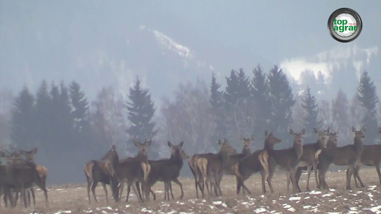 400 jeleni na jednym polu!