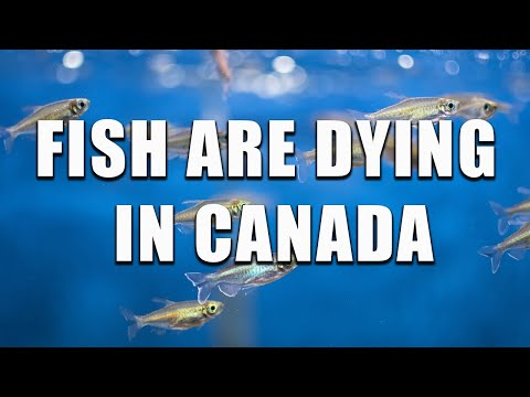 Fish Are Dying In Canada
