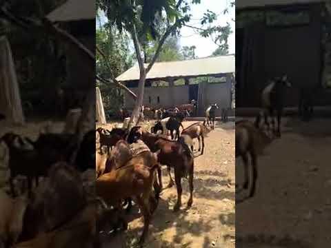 Goats eat forage