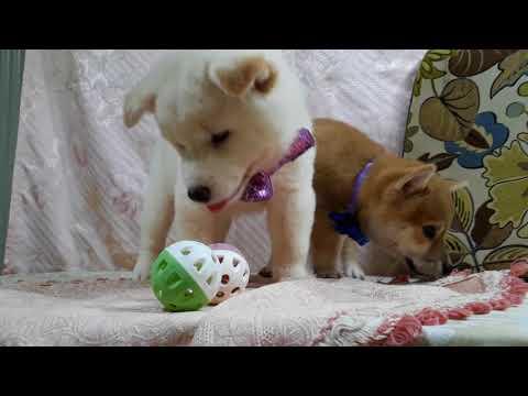PuppyFinder.com : White Shiba Snowy-2