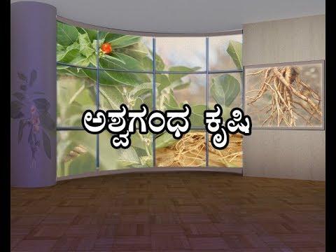 Ashvagandha cultivation-ಅಶ್ವಗಂಧ ಕೃಷಿ