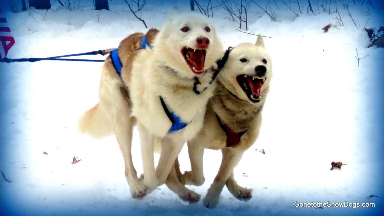 Siberian Husky Sled Dog Racing 4 Dog Teams Indian River Dog Sledding Slow  Motion Michigan