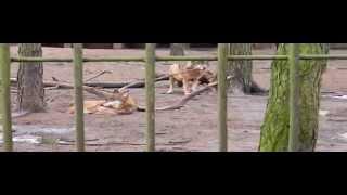 Walka wilków i pogryziony wilk --Bydgoskie zoo podczas posiłku. 26.02.2013 [HD]