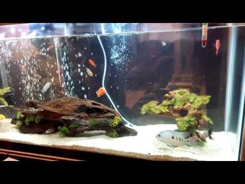 Cichlids Live Fish Feeding Frenzy Part 1