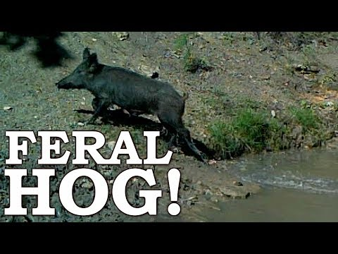 Chasing WILD FERAL HOG in SURVIVAL! Ep09 | 100% WILD Food SURVIVAL Challenge!