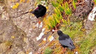 Choughs at Lizard Point in Cornwall