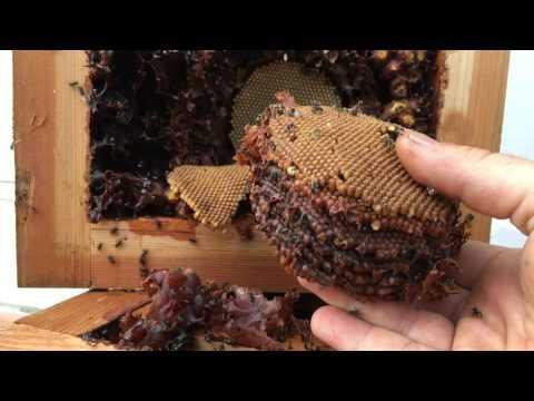Removing brood 🐝 thumbnail