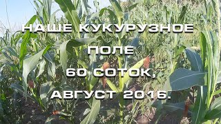 Наше кукурузное поле 60 соток, август 2016