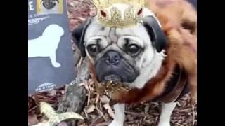 Pug Of Thrones - Doug The Pug