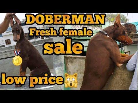 Doberman for sale