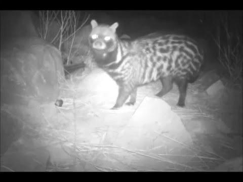 African civet (Civettictis civetta), Mauritania