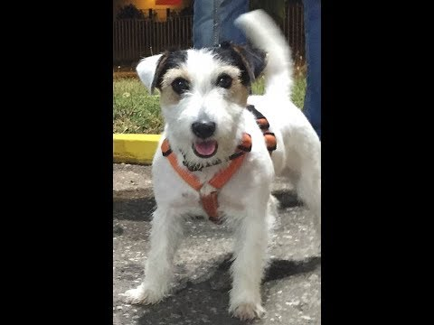Jack Russell Terrier with Maltezer