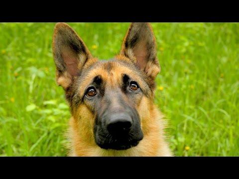 Видео - Прикольные и задорные щенки кавказской овчарки