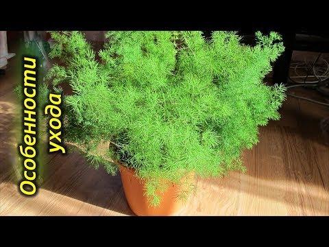 Вопрос: Какие особенности выращивания комнатной эрики изящной?