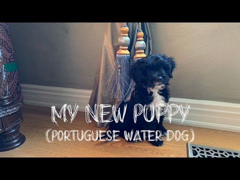 MEET MY PORTUGUESE WATER DOG PUPPY!! 🐶 ❤️