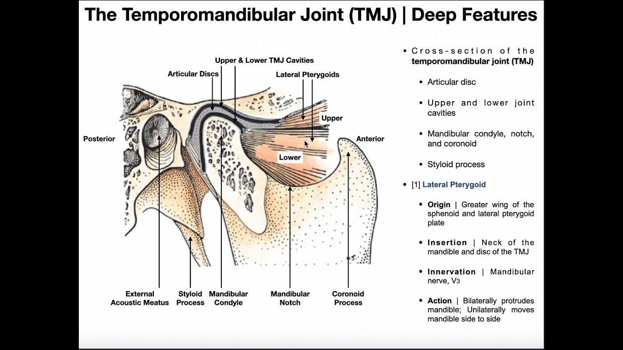 Structure And Function Of The Temporomandibular Joint Tmj Youtube
