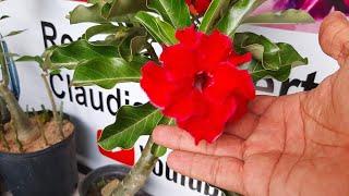 Enxerto de Rosas do Deserto – Tenha Resultados Excelentes