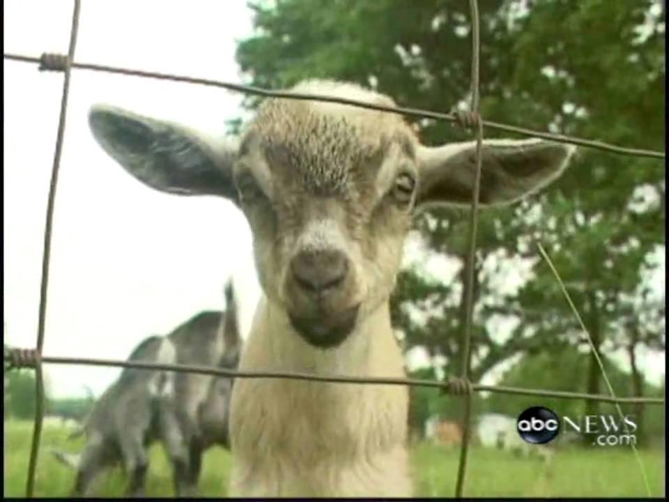 Pygmy Goats As Pets