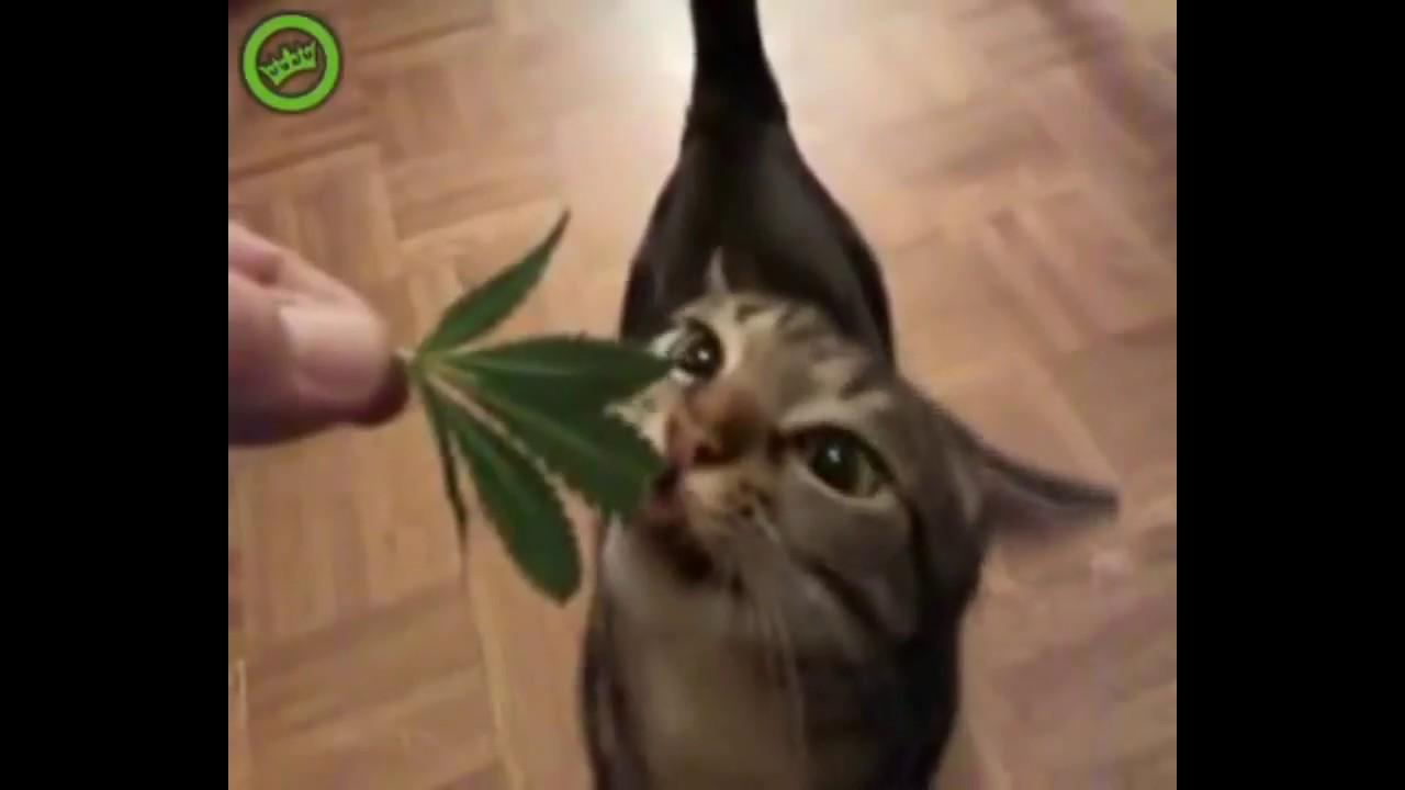 Кот с коноплей как обойти тест коноплю