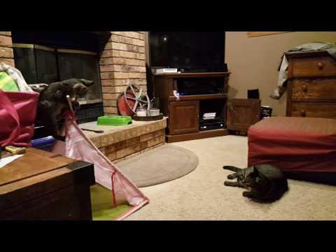 Kitten Meets Cat   Help Interpret The Behavior   Is the Cat Too Mean to the Kitten?