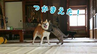 好敵手を得た犬と猫の全力鬼ごっこ Dog and Cat Playing Tag