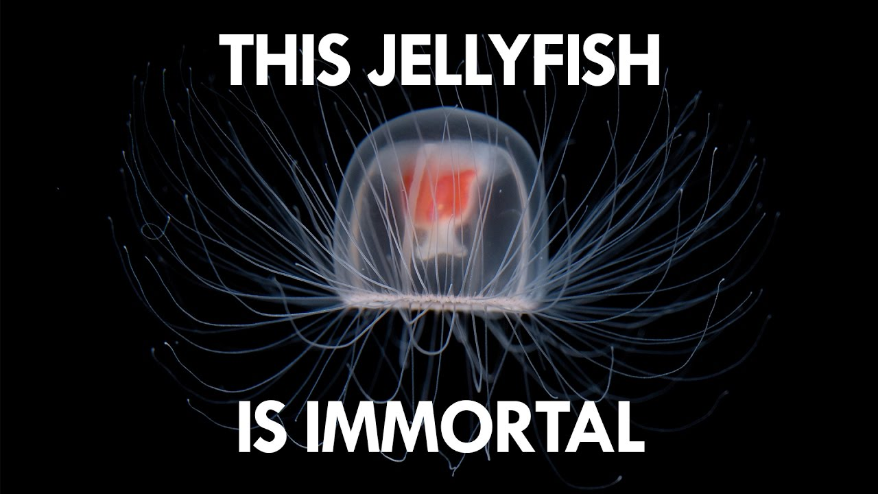 Jellyfish are the key to Immortality - YouTube