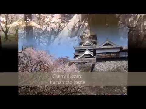 Japan.  Kumamoto castle. Cherry Blizzard.