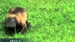 (Loop) Platypus on the Prowl