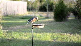 Wild Bird House : Some Eastern Bluebirds Sitting On A Nest Box & Eating
