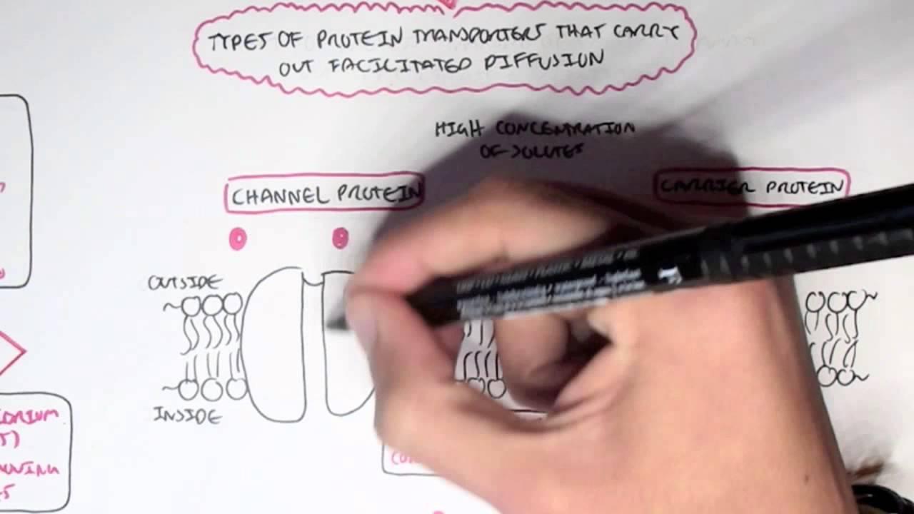 Passive) Diffusion - Simple and Facilitated - YouTube