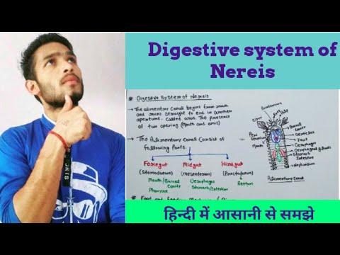 Digestive System Of Nereis
