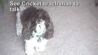 Cocker Spaniel Says Hello From Colorado