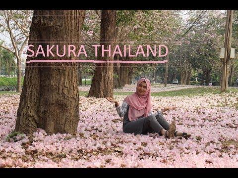 #Vlog Jalan-jalan Gratis! Liat Sakura Thailand - Sakura in Kasetsart Kampengsaen campus