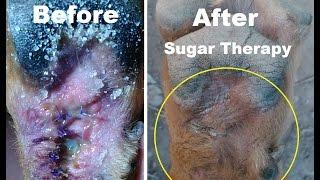 Sugar Wrap Therapy German Shepherd Paw  Laceration