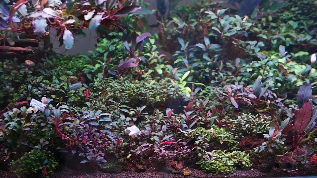 My bucephalandra tank - YouTube