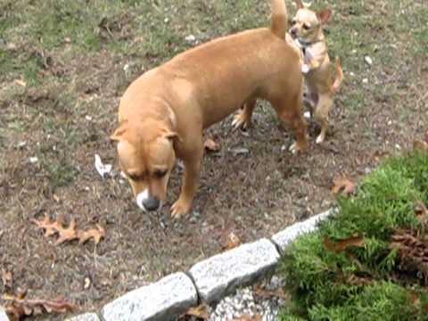 chihuahua vs pitbull
