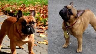 Порода собак. Бульдог. Бойцовская порода собак