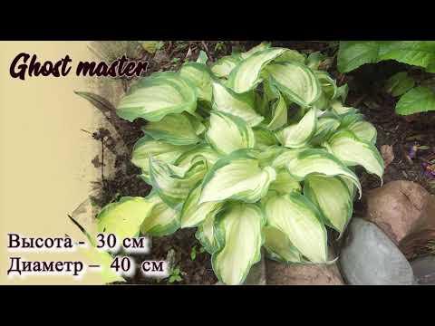 Сорта хост разного цвета  и разного размера. Хоста растение тени.