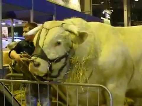 Biggest & Heavy Belgium Blue Bull