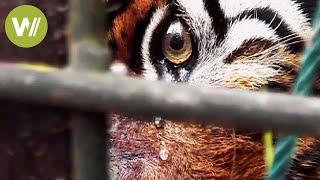 Der Tiger - Die größte Katze der Welt vom Aussterben bedroht (Tierdokumentation in HD)